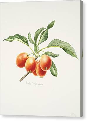 Crab Apples Canvas Print by Sally Crosthwaite