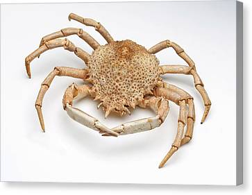 Crab Exoskeleton Specimen Canvas Print by Ucl, Grant Museum Of Zoology