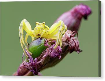 Arachnida Canvas Print - Crab Spider by Heath Mcdonald