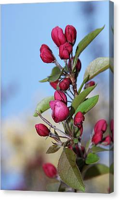 Canvas Print featuring the photograph Crabapple Blossoms by Vadim Levin