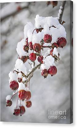 Crab Apples On Snowy Branch Canvas Print