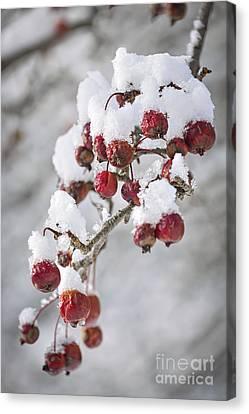 Crab Apples On Snowy Branch Canvas Print by Elena Elisseeva