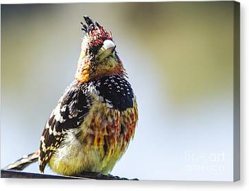 Crested Barbet Canvas Print by Pravine Chester