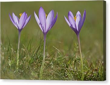 Crocus (crocus Nudiflorus) Flower Canvas Print