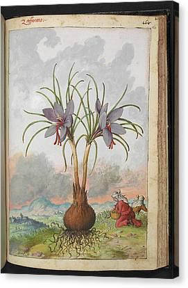Crocus Sativus Flowers Canvas Print by British Library