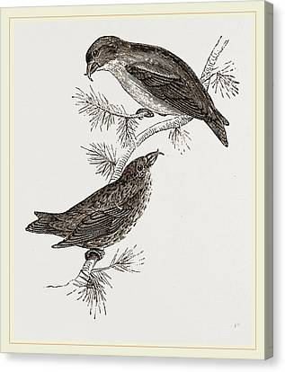 Crossbill Canvas Print - Crossbills by Litz Collection
