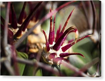 Crown Of Thorns Canvas Print by Kelley King