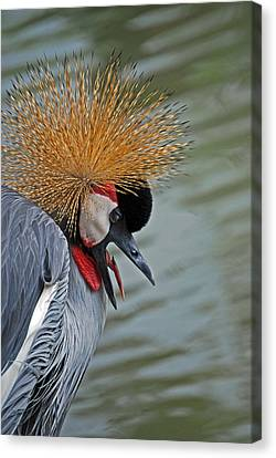 Crowned Crane Canvas Print by Skip Willits