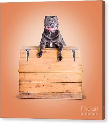 Cute Purebred Blue Staffy Dog Posing On Wooden Box Canvas Print