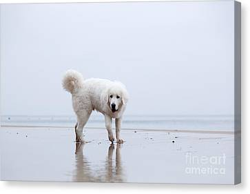 Cute White Dog Playing On The Beach Canvas Print by Michal Bednarek