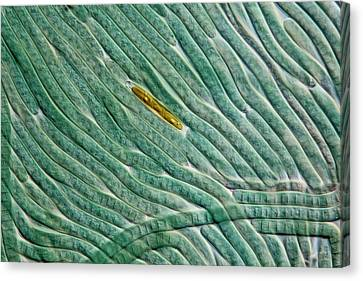 Cyanobacteria And Diatom Canvas Print by Gerd Guenther