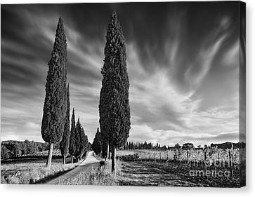 Cypress Trees- Tuscany Canvas Print by Rod McLean