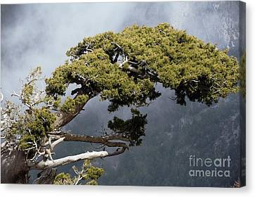 Cypresses Cupressus Sempervirens Canvas Print by Bob Gibbons