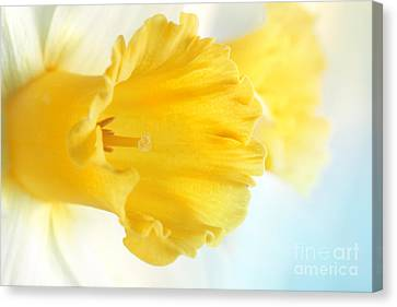 Daffodil Close Up Canvas Print by Mythja  Photography