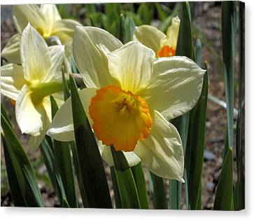 Canvas Print featuring the photograph Daffodil by Gene Cyr