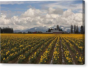 Daffodils Forever Canvas Print by Mark Kiver