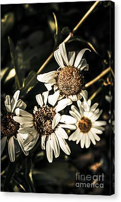 Daisy Flowers Dying Slow Death. Pushing Up Daisies Canvas Print by Jorgo Photography - Wall Art Gallery