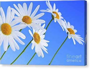 Daisy Flowers On Blue Background Canvas Print by Elena Elisseeva