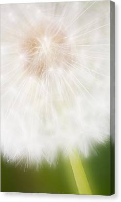 Dandelion Seedhead Noord-holland Canvas Print by Mart Smit