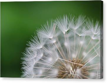 Dandelion Canvas Print by Tilen Hrovatic