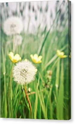 Dandelions And Buttercups Canvas Print