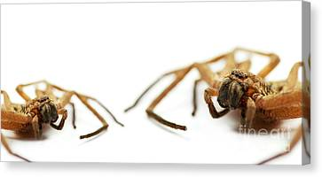 David And Goliath Daddy Longlegs Canvas Print by Jorgo Photography - Wall Art Gallery