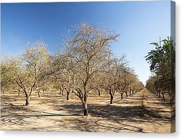 Take-out Canvas Print - Dead And Dying Almond Trees by Ashley Cooper
