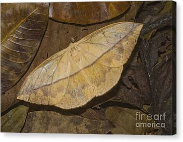 Dead Leaf Moth Canvas Print by William H. Mullins