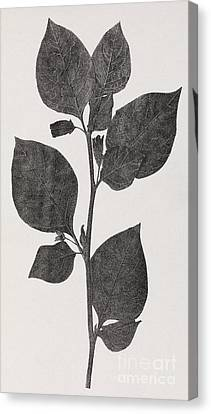 Deadly Nightshade, 19th Century Artwork Canvas Print by Middle Temple Library