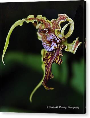Dendrobium Spectabile Canvas Print