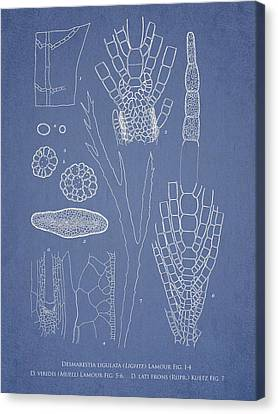 Desmarestia Ligulata Canvas Print