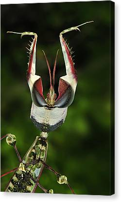 Devils Praying Mantis In Defensive Canvas Print by Thomas Marent