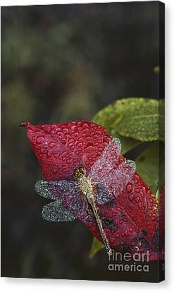 Dew-covered Dragonfly Canvas Print