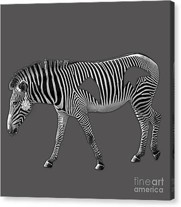 Diamond In The Rough Zebra Canvas Print by Marvin Blaine