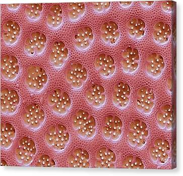 Diatom Detail Canvas Print by Steve Gschmeissner