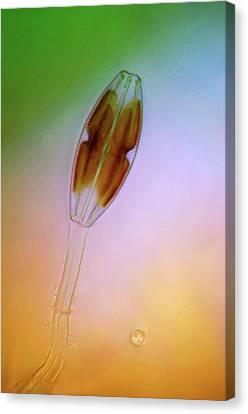 Diatom Canvas Print by Marek Mis