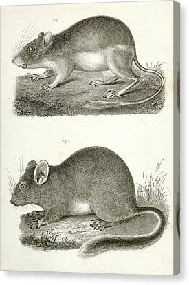 1. Dipodomys Agilis, Pouched Jumping Mouse California Canvas Print