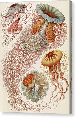 Jellyfish Canvas Print - Discomedusae Jellyfish by Library Of Congress