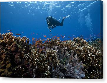 Diver And Schooling Anthias Fish Canvas Print by Terry Moore