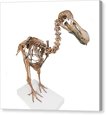 Dodo Skeleton Canvas Print by Natural History Museum, London