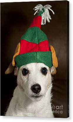 Dog Wearing Elf Ears, Christmas Portrait Canvas Print by Jim Corwin