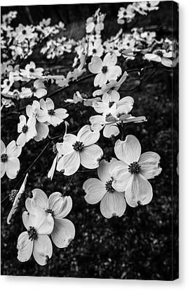 Canvas Print featuring the photograph Dogwoods by Wayne Meyer