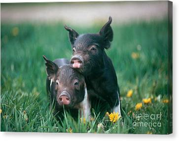 Piglet Canvas Print - Domestic Piglets by Alan Carey