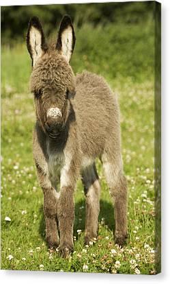 Donkey Foal Canvas Print