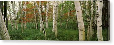 Downy Birch Betula Pubescens Trees Canvas Print by Panoramic Images