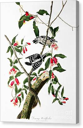 Downy Woodpecker Canvas Print by Celestial Images