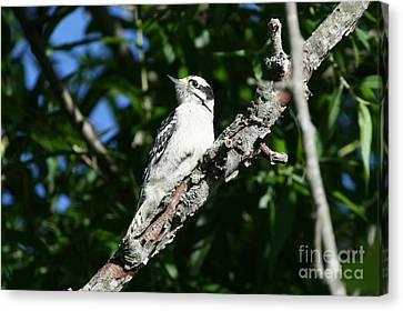 Woodpecker Canvas Print - Downy Woodpecker Portrait by Neal Eslinger