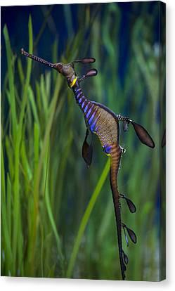 Dragon Seahorse Canvas Print by Diego Re