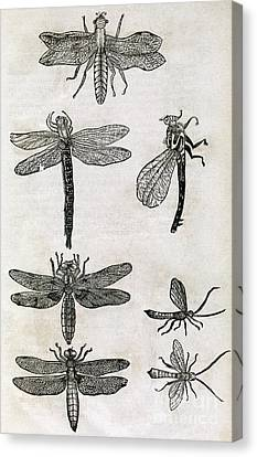Dragonflies, 17th Century Artwork Canvas Print by Middle Temple Library