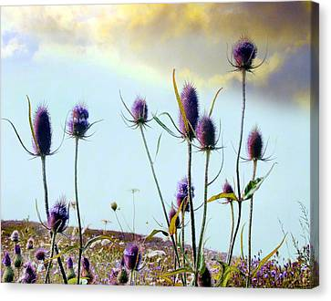 Dream Field Of Teasels Canvas Print by Gothicrow Images